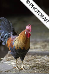 picture of light brown leghorn cockerel