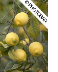 photo of lemons on a tree in a Spanish Orchard