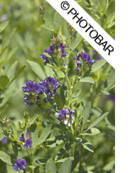 Pictures of purple blossoms on alfalfa in bloom